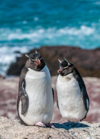 extreme terrain: rockhopper penguins
