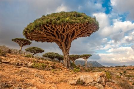 Drachenbäume am Dixam Plateau, Insel Sokotra, Jemen Standard-Bild - 23044632