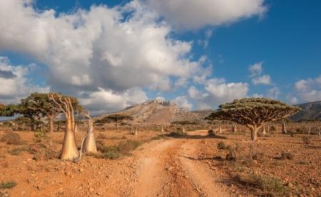 obesum: Desert rose tree, Socotra Island, Yemen
