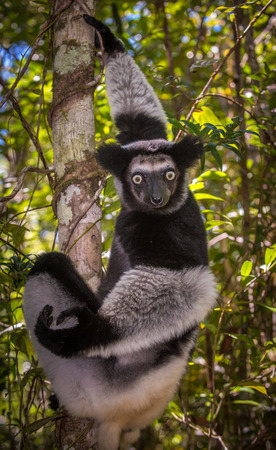 the largest: Indri, the largest lemur of Madagascar