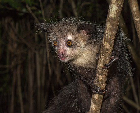 Aye-aye, nocturnal lemur of Madagascar Stock Photo