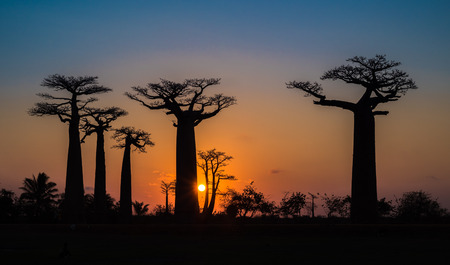 Sunset over Alley of the baobabs, Madagascar