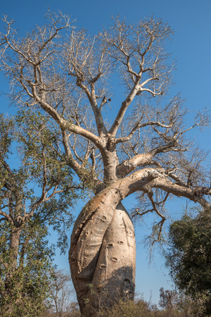 legacy: Baobab Amoureux, two baobabs in love, Madagascar Stock Photo