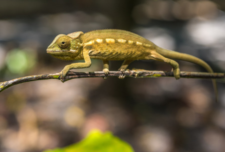 changing colors: Colorful chameleon of Madagascar