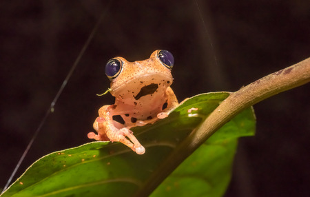 Boophis tree frog of Madagascar photo
