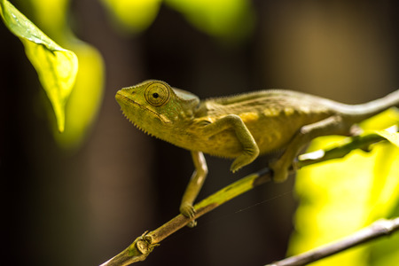 changing colors: Colorful chameleon of Madagascar, very shallow focus