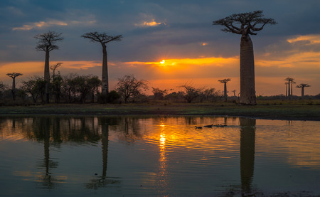 alley of baobabs: Sunset over Alley of the baobabs, Madagascar