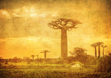 Vintage image of Baobabs avenue, Madagascar photo