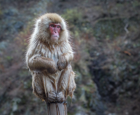 Snow monkey or Japanese Macaque in hot spring onsen photo