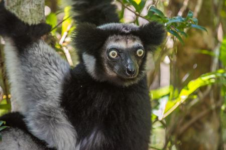 diurnal: Indri, the largest lemur of Madagascar
