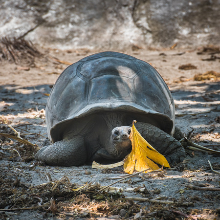 ancient turtles: Seychelles giant tortoise