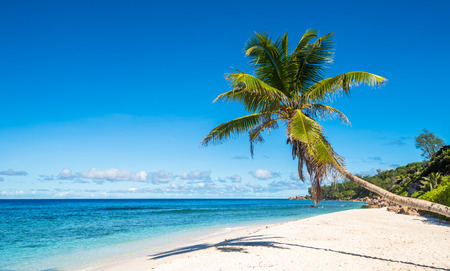 coconuts: Coconut palm tree on tropical beach, Seychelles
