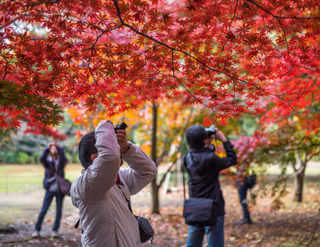 japanese maple: TOKYO, JAPAN - November, 30, 2014: Japanese tourists taking pictures of momiji maple trees Editorial