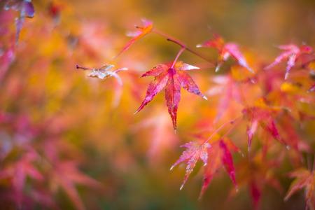 autumn leaves, very shallow focus Stockfoto