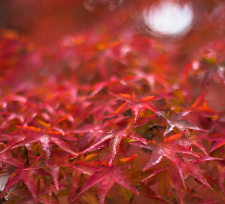 shallow: autumn leaves, very shallow focus Stock Photo