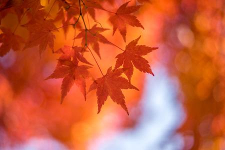autumnal background slightly defocused red marple leaves