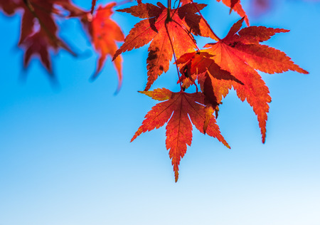 japanese maples: autumn leaves, very shallow focus Stock Photo