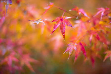momiji: autumn leaves, very shallow focus Stock Photo