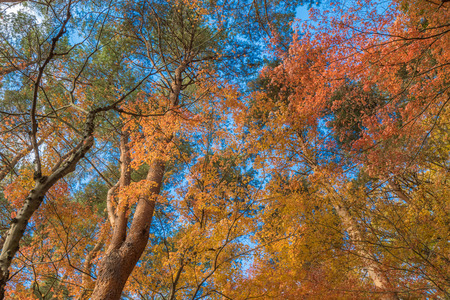 momiji: multi color trees in the autunm forest Stock Photo