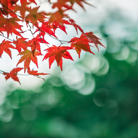 momiji: autumnal background, slightly defocused red marple leaves