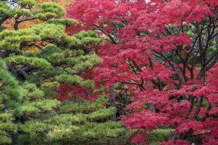 momiji: Momiji season in Japan, autumn leaves, very shallow focus Stock Photo