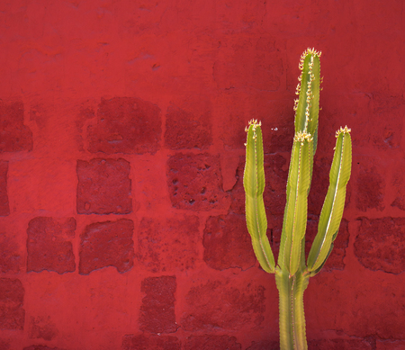 Green Cactus over red wall, Santa Catalina Monastery, Arequipa, Peru Stock Photo