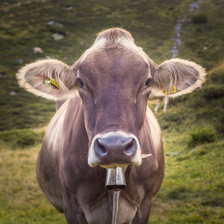pastures: Closeup of a Swiss Dairy Cow Stock Photo