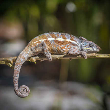 shallow  focus: Colorful chameleon of Madagascar, very shallow focus