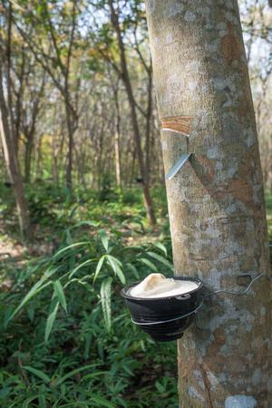 caoutchouc: Rubber tree plantation, Thailand