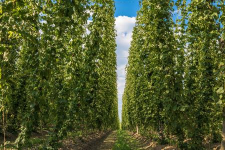 hop hops: Hops plantation in Bavaria, Germany