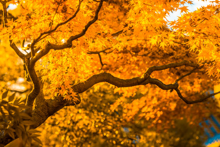 momiji: autumn tree, very shallow focus