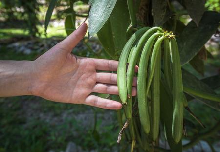 ejotes: planta de la vainilla y las vainas verdes en la plantación