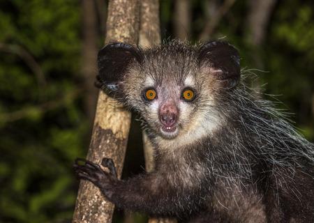 Aye-aye, nocturnal lemur of Madagascar Banque d'images