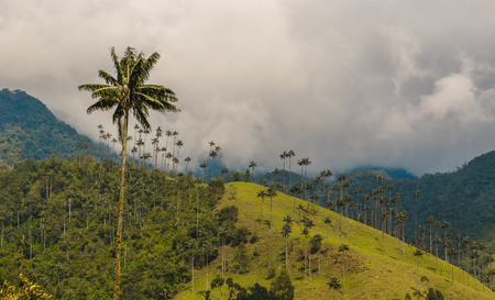 Wax palm trees of Cocora Valley, Colombia Stock Photo