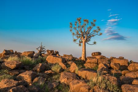 矢筒ツリー、またはアロエ カブトムシ、Keetmanshoop、ナミビア