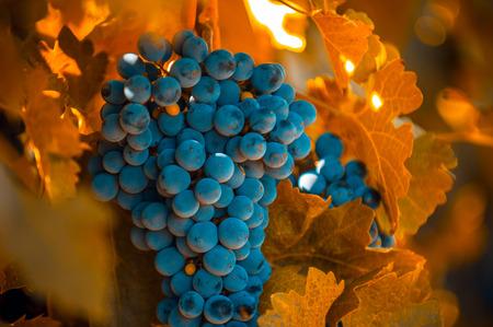 grape bunch, very shallow focus