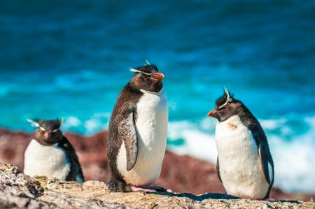 Rockhopper penguins, Patagonia, Argentina Stok Fotoğraf