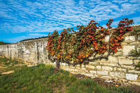 Old vine in the autumn colors, Burgundy, France Stock Photo