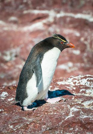 Rockhopper penguin, Patagonia, Argentina Stok Fotoğraf