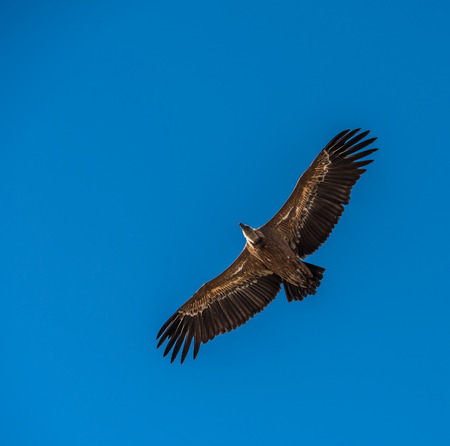 A griffon vulture flying in a blue sky 스톡 콘텐츠