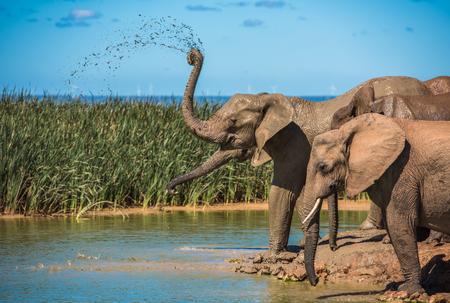 Troupeau d'éléphants au point d'eau, Afrique du Sud Banque d'images