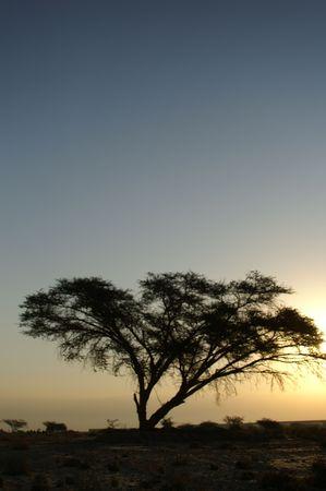 Desert landscape - a tree in Arava desert, Israel on sunrise
