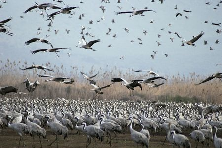 Grey cranes over Hula lake, Israel migrates to Russia