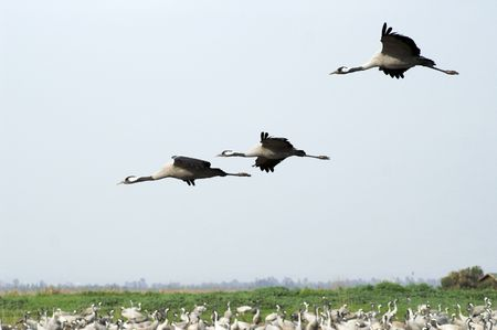crane fly: Migrating cranes over Hula lake reserve, Israel at spring on the way back to Europe