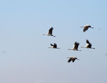 Cranes and pelicanes take a rest on Hula lake in Israel on their way to Africa photo