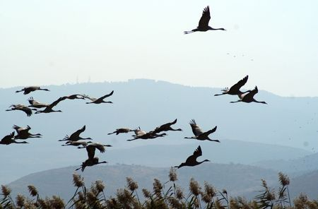 Cranes and pelicanes take a rest on Hula lake in Israel on their way to Africa