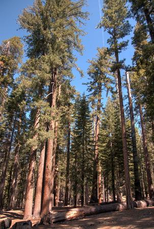 sequoia: Hiking near Sequoia trees in Mariposa Grove
