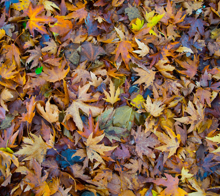 the color of silence: Wet colorful leaves in autumn season rain weather