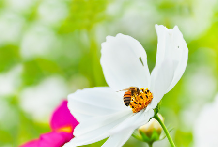 honeybee: A honeybee rested on a flower.