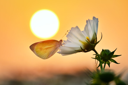 rested: A butterfly rested on a flower under the sunset